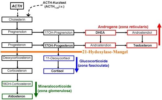 Adrenogenitales Syndrom - www.endokrinologie.net